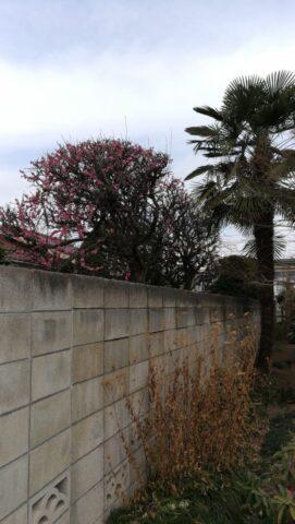 Mate9の画面オフ状態から撮影した梅の花