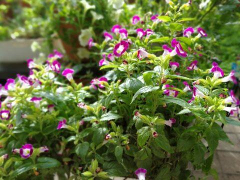 Huawei Mate9で撮影した植物